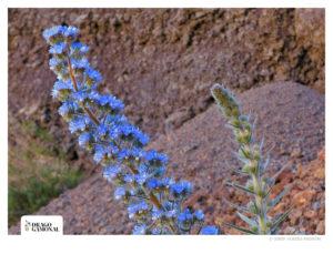 Tajinaste azul del Teide
